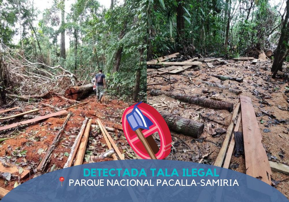 (Español) Detectada tala ilegal en el «Parque Nacional Pacaya-Samiria» tras la pandemia